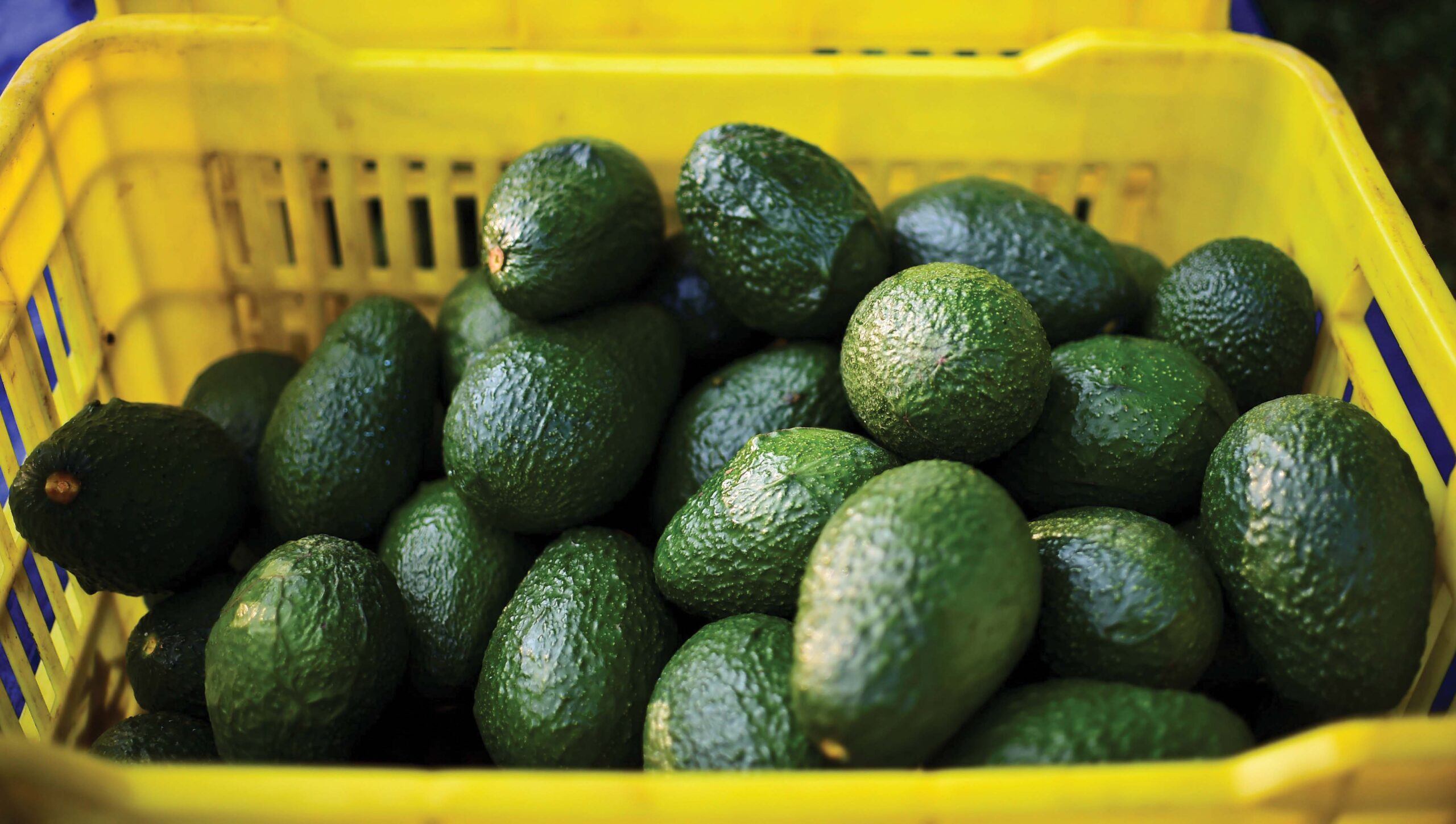αβοκαντο δεντρο φυτό - avocado hellas