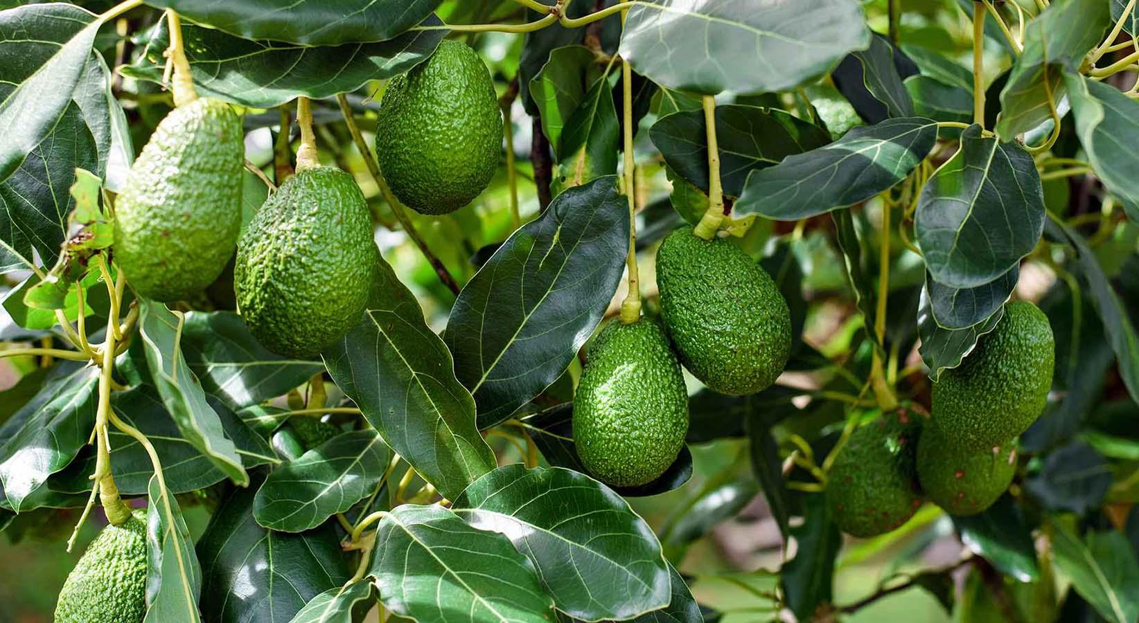 AVOCADO HELLAS- ΕΛΛΑΔΑ αβοκαντο δεντρο φυτο τιμη καρπος καλλιεργεια