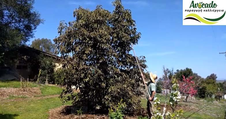 Κλάδεμα αβοκάντο. Πότε κλαδεύουμε ένα δέντρο αβοκαντο