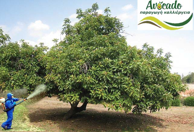 Spraying avocado during flowering and cultivation