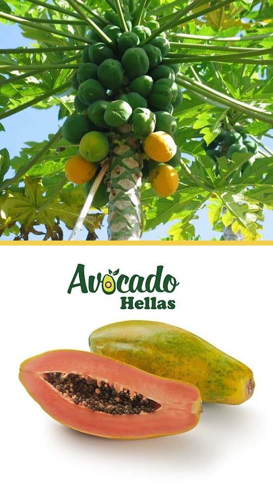 παπαγια-papaya-φυτα-φυτώρια-καρποί