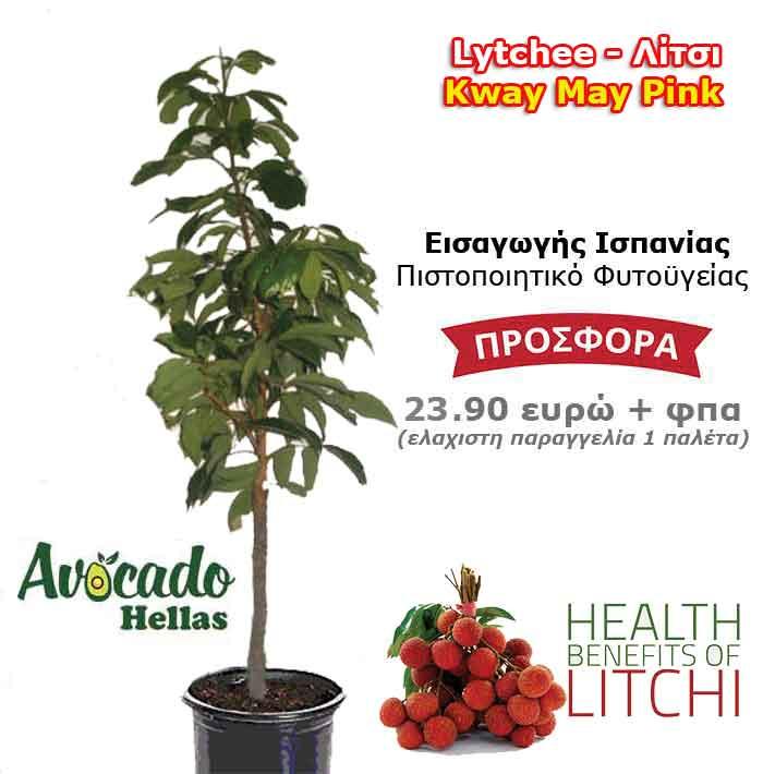Λιτσι Litchi φυτο χονδρική δέντρο εισαγωγής Ισπανίας Εμπορική Ποικιλία Kway-May-Pink