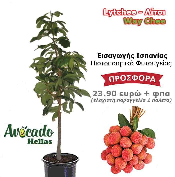 Λιτσι-φυτο δέντρο ισπανίας Litchi-Way-εμπορική ποικιλία Chee-dentro-fyto-xondriki-timh