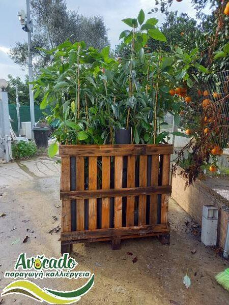 Μελέτες καλλιέργειας και επένδυσης σε φυτείες αβικάντο. ΑΒΟΚΑΝΤΟ: Τα υπέρ και κατά μιας καλλιέργειας, διατροφή οφέλη