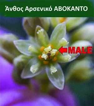 άνθος, Λουλούδι αρσενικό Αβοκάντο ανθοφορία Ποικιλίες Αβοκάντο Τύπου Β