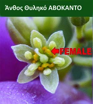 άνθος, Λουλούδι θηλυκό Αβοκάντο ανθοφορία Ποικιλίες Αβοκάντο Τύπου Β