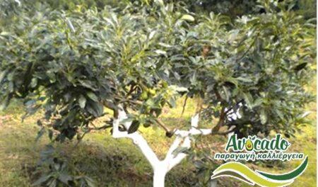 ΑΒΟΚΑΝΤΟ: Τα υπέρ και κατά μιας καλλιέργειας