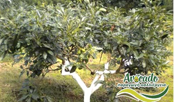 τρόπος κλαδέματος αβοκάντοςκλαδεμα καλλιεργεια αβοκαντο Ελλάδα κρητη χανια,