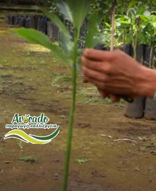 Μπολιασμα Αβοκάντο Χανιά-κέντρισμα εμβολιασμός